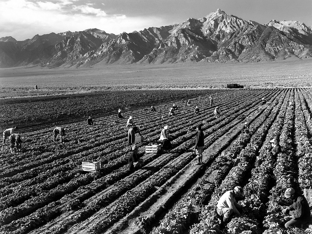Farm workers at Manzanar Relocation Center