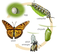 Life Cycle of a Butterfly image