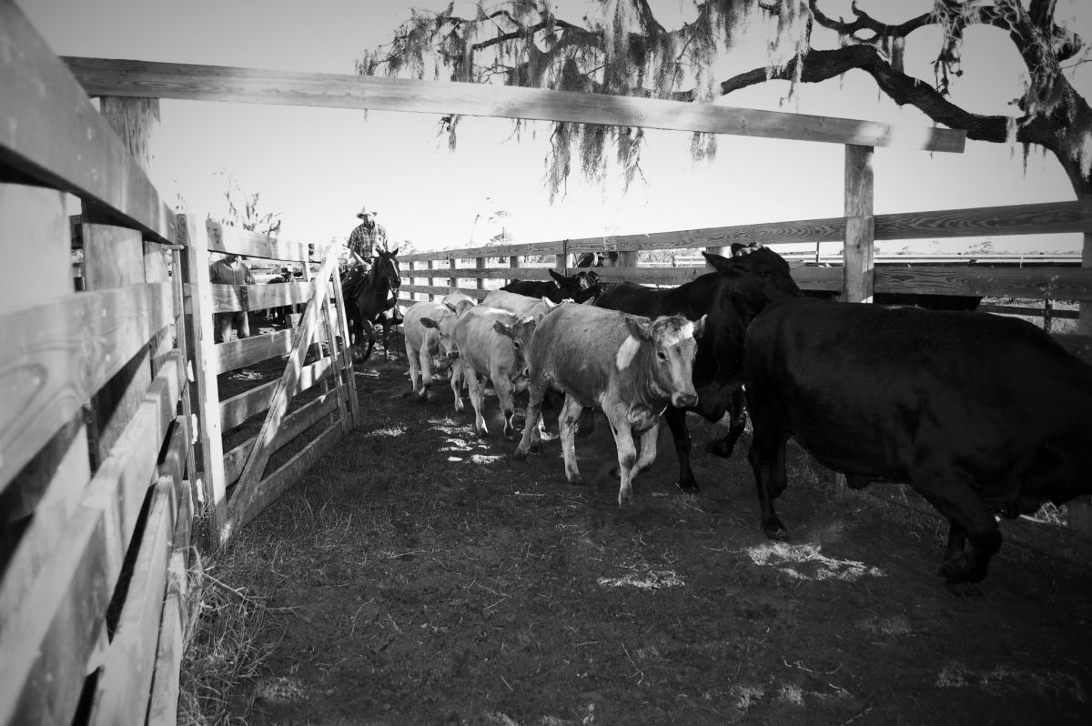 Coralling_Cattle_BW_Small.jpg